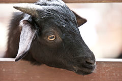Chèvre noire Photos stock