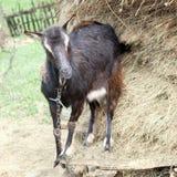 Chèvre noire photographie stock libre de droits