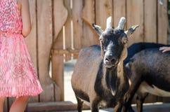 Chèvre noire Images libres de droits