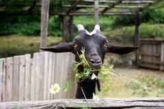 Chèvre noire mangeant les camomiles, herbe dans la cour photographie stock