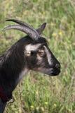 Profil de chèvre Photos stock