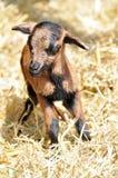 Chèvre nouveau-née Images libres de droits