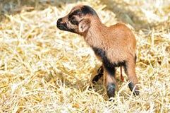 Chèvre nouveau-née Photographie stock