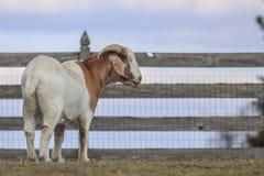 Chèvre par la barrière photos stock