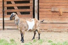 Chèvre par la grange Photo libre de droits