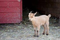 chèvre perdue de chéri Image libre de droits