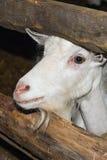 Chèvre pour la liberté Photos stock