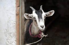 Chèvre près de la grange Photos libres de droits