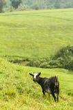 Chèvre près des teplants en Ouganda image libre de droits