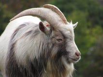 Chèvre pygméenne Photographie stock