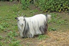 Chèvre pygméenne image libre de droits