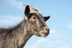 Chèvre pygméenne bleue Photos stock