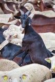 Chèvre regardant l'appareil-photo Photographie stock libre de droits
