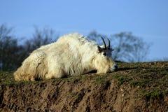Chèvre rocheuse de Mountin (Oreamnos américanus) Image stock
