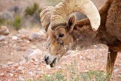 Chèvre sauvage Photo libre de droits
