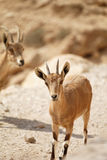 Chèvre sauvage Photos libres de droits