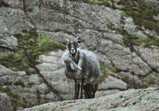 Chèvre sauvage Photo stock