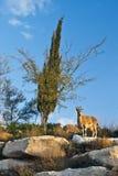 Chèvre sauvage dans le deset du Negev, Israël Images libres de droits