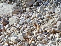 Chèvre sauvage en montagnes caucasiennes images stock