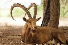 Chèvre sauvage en nature à l'extérieur Images stock