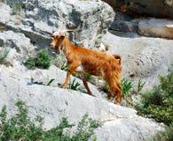 Chèvre sauvage, Grèce Photo libre de droits