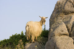 Chèvre sauvage - Sardaigne, Italie Photographie stock libre de droits