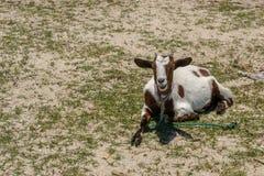 Chèvre se trouvant au sol Photographie stock