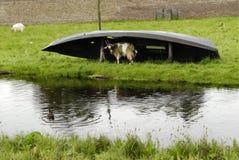 -chèvre sous la pluie Photos stock