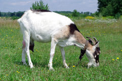 Chèvre sur des gras Image libre de droits