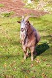 Chèvre sur l'herbe verte Photos libres de droits