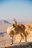Chèvre sur la falaise Images libres de droits