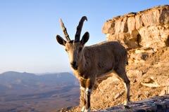 Chèvre sur la falaise Photo libre de droits