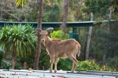 Chèvre sur la pierre dans le zoo de Chiangmai, Thaïlande Photographie stock