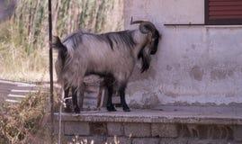 Chèvre sur la réserve naturelle chez Skala Kalloni Lesvos Grèce photos libres de droits