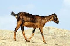 Chèvre sur la roche Photo libre de droits