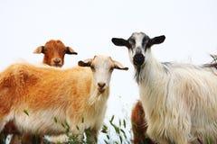 Chèvre sur le champ Photos stock