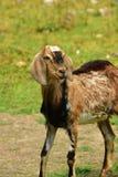 Chèvre sur le fond de pré Image libre de droits