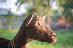 Chèvre sur le fond vert Photos libres de droits