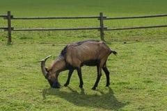 Chèvre sur le pâturage Photo stock