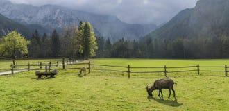 Chèvre sur le pâturage Photo libre de droits