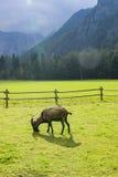 Chèvre sur le pâturage Images stock