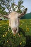 Chèvre sur le pré images stock
