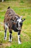 Chèvre sur le pré Images libres de droits