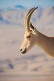Chèvre sur le profil de falaise Photo stock