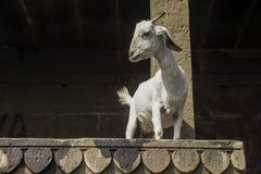 Chèvre sur les ghats à Varanasi, Inde Photos libres de droits