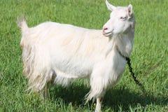 Chèvre sur un champ Images stock
