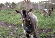 Chèvre sur une laisse dans le village biélorusse photo libre de droits