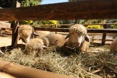 Chèvre trois Images libres de droits
