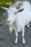 Chèvre urious de ¡ de Ð attendant votre réponse photographie stock libre de droits