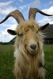 Chèvre vous regardant photographie stock libre de droits
